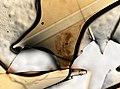 Daphnia (YPM IZ 101537).jpeg