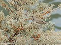 Dark-throated Thrush (Turdus ruficollis) (49061330457).jpg