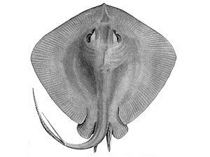 Myliobatiformes - Short-tail stingray, Dasyatis brevicaudata