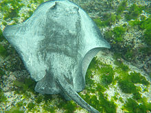A ray in shallow water off a beach