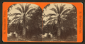 Date tree in Dr. Peck's garden. St.Augustine, Fla, from Robert N. Dennis collection of stereoscopic views 3.png