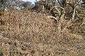 Datura stramonium 107822767.jpg