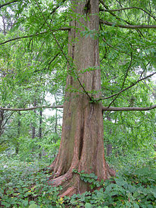 Dawn Redwood Metasequoia glyptostroboides Trunk 2448px.jpg