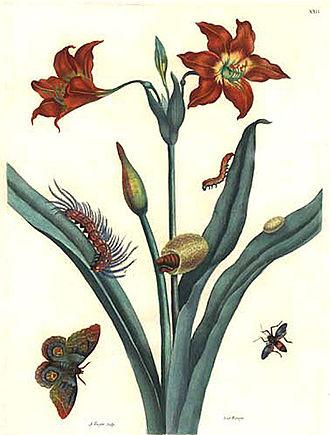 Maria Sibylla Merian - Image: De Europische Insecten Merian Bernard