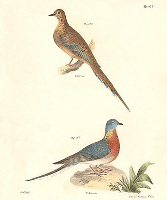 James Ellsworth De Kay - Plate LXXIV, mourning dove (Zenaida macroura) above, and passenger pigeon (Ectopistes migratorius) below, by Hill