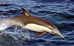 Delphinus capensis