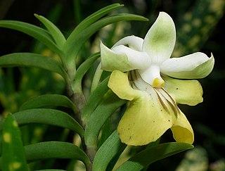 <i>Dendrobium uniflorum</i> species of plant