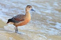 Dendrocygna javanica (Lesser Whistling Duck - Zwergpfeifgans) Weltvogelpark Walsrode 2012-009.jpg