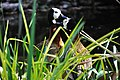 Dendrocygna viduata (Witwenpfeifgaense) Weltvogelpark 2010.jpg