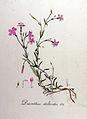 Dianthus deltoides — Flora Batava — Volume v8.jpg