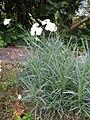 Dianthus furcatus1.jpg