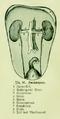 Die Frau als Hausärztin (1911) 016 Harnorgane.png