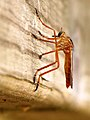 Diogmites neoternatus side.jpg