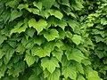 Dioscorea caucasica 2016-05-31 1885.jpg