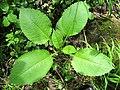 Dipsacus pilosus plant (06).jpg