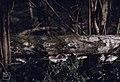 Diptoporus betulinus. Coed y Bedw. 10.4.95 (31021668995).jpg