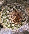 Discocactus zehntneri (araneispinus).jpg