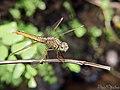 Ditch Jewel (Brachythemis contaminata) female (20050424894).jpg