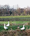 Domestic geese by the River Nar - geograph.org.uk - 1639050.jpg