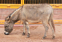 Donkey (Equus asinus) at Disney's Animal Kingdom (16-01-2005).jpg