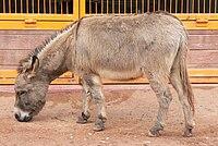 Donkey (Equus asinus) at Disney's Animal Kingdom (16-01-2005).jpg