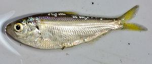 Threadfin shad - Image: Dorosoma petenense
