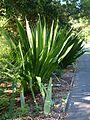 Doryanthes palmeri (SRBG).jpg