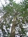 Douglas fir - geograph.org.uk - 155722.jpg