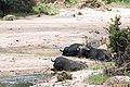 Dozing Buffaloes (7281477986).jpg