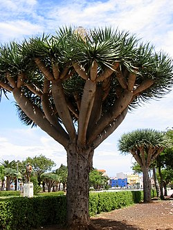 Dragon tree.jpg