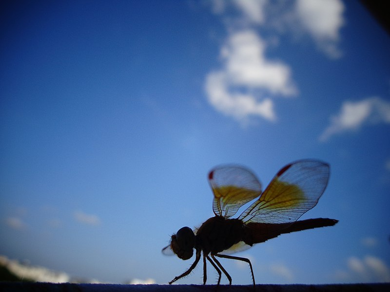 File:Dragonfly in the beautiful sky.jpg