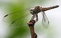 Dragonfly ran-313.jpg