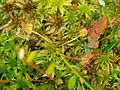 Drosera rotundifolia dixi.jpg