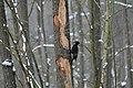 Dryocopus martius in the Teufelsbruch 2021-02-10 15.jpg