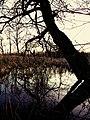 Drzewo nad mokradłem - panoramio.jpg