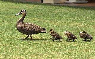 Ällingarna (andungarna) har präglats på sin mamma, och följer henne i vått och torrt.
