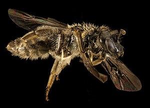 Halictidae - Dufourea novaeangliae side