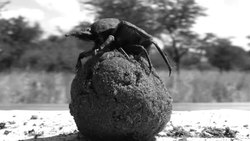 Fil:Dung beetle dance (short) from journal.pone.0030211.ogv