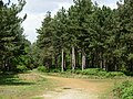 Dunwich Forest - geograph.org.uk - 178217.jpg