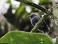 Dysithamnus occidentalis - Bicolored Antvireo.jpg