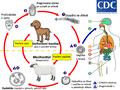 E. granulosus vyvojovy cyklus (in czech).png