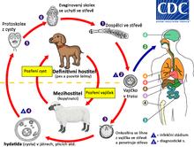 ilustrovaný pes, ovce, člověk a stádia echinokoka