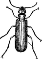 EB 1911 Blister Beetle.png
