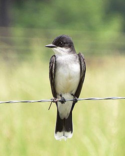 Eastern Kingbird (14683057984).jpg