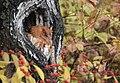 Eastern Screech Owl (30621282464).jpg