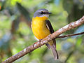Eastern Yellow Robin (Eopsaltria australis) (20937595303).jpg