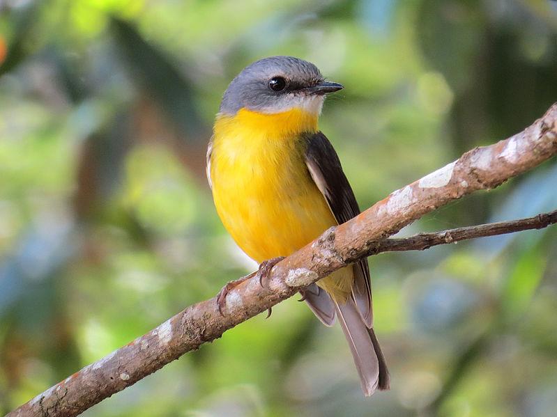 File:Eastern Yellow Robin (Eopsaltria australis) (20937595303).jpg