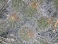 Echinocereus stramineus (5686915584).jpg