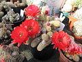 Echinopsis chamaecereus (Peanut Cactus) (4577881945).jpg