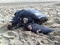 Ecomare - stranding lederschildpad (lederschildpad-2009-rh-11).jpg